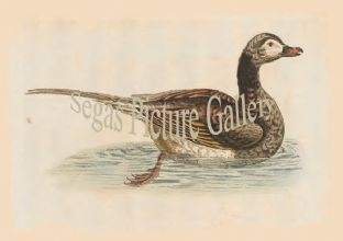 Duck, Long-Tailed, from Hudsons Bay
